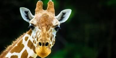 Tiere-Giraffe-gross-Zoo-Hals.jpg