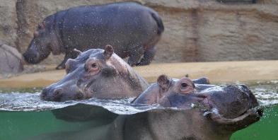 Zoo-Koeln-Nilpferde-H22-Foto-by-Rolf-Huerche-klein.jpg